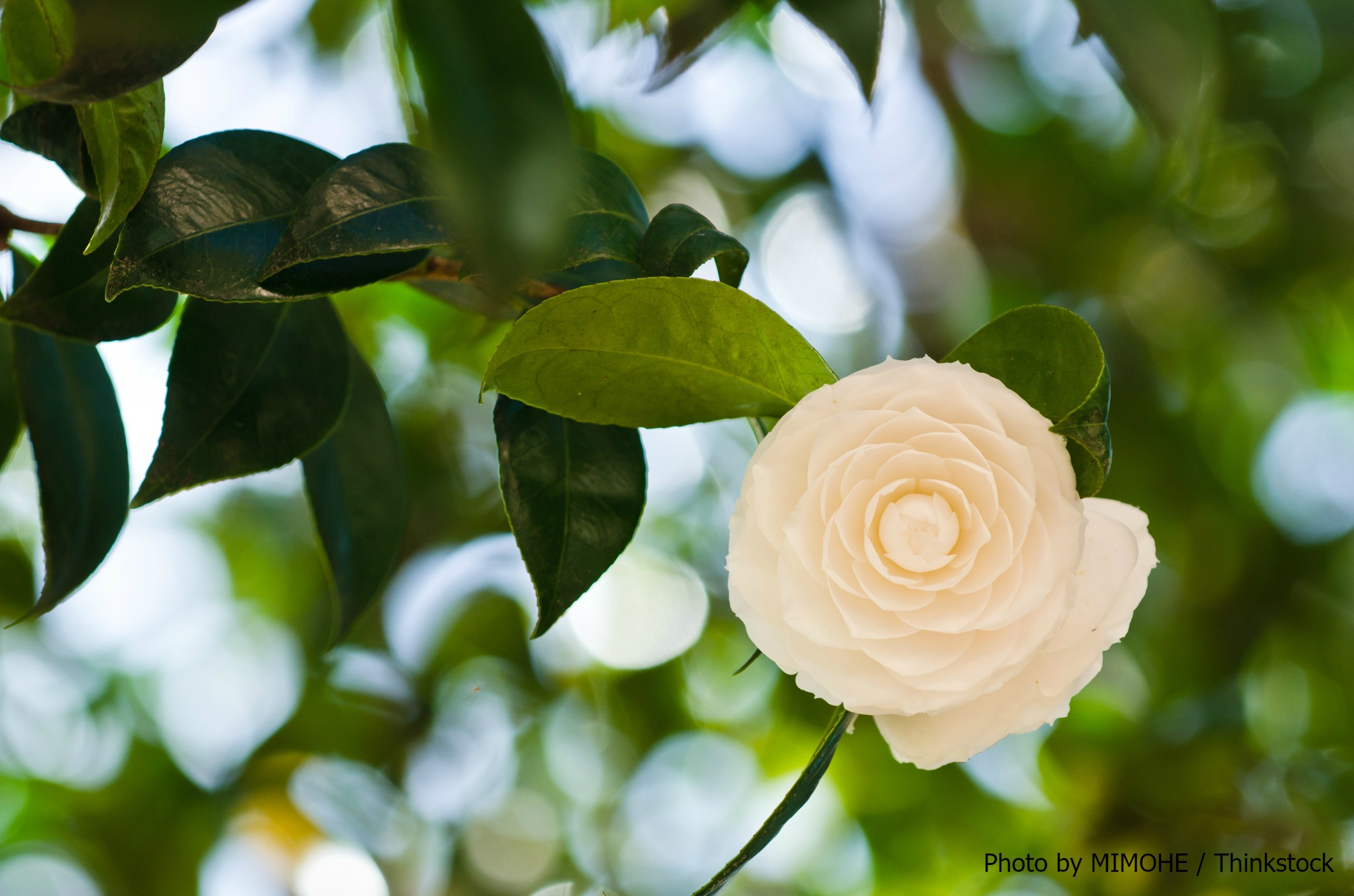 Camellia at the Elizabethan Gardens