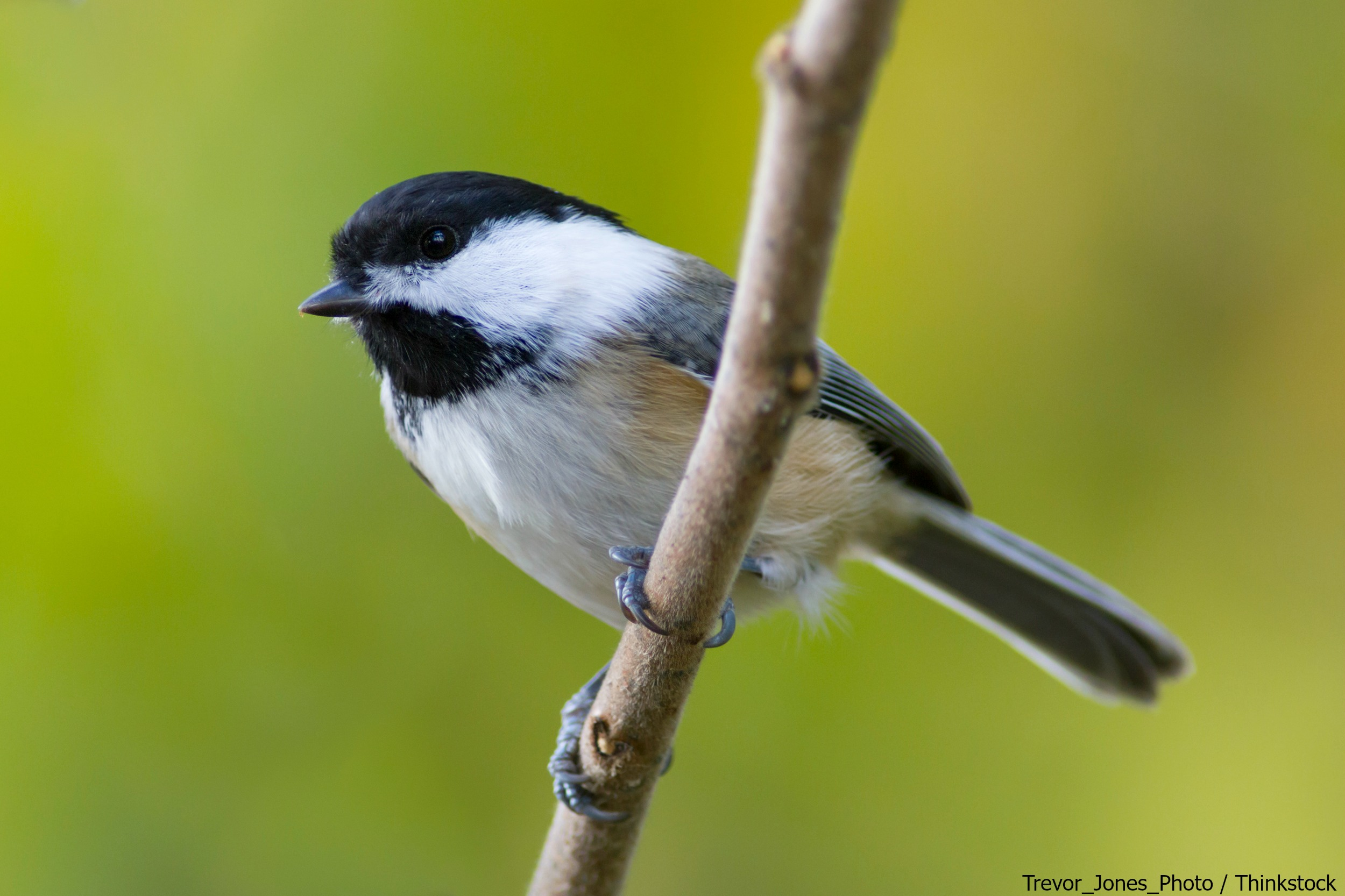 See chickadees at the Wings over Water Festival